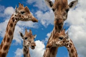 giraffes-talk
